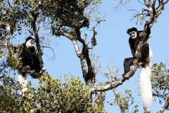 Zwart-witte colobus monekys Stock Foto's
