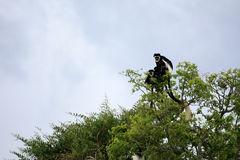 Zwart-witte Colobus, Oeganda, Afrika Royalty-vrije Stock Afbeelding