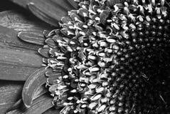 Zwart-witte Daisy Royalty-vrije Stock Foto's