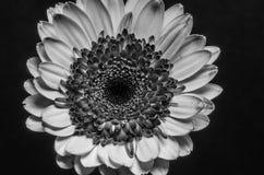 Zwart-witte Daisy Stock Foto's