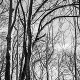 Zwart-witte de winterbomen Royalty-vrije Stock Afbeelding