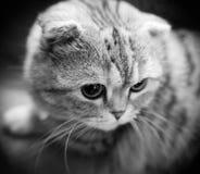 Zwart-witte dichte omhooggaand van een leuke Schotse vouwen munchkin kat met ondiepe diepte van gebied royalty-vrije stock foto's