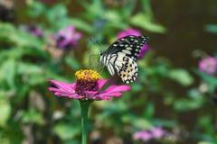 Zwart-witte die vlinder op bloemen wordt neergestreken royalty-vrije stock fotografie