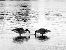 Zwart-witte eenden royalty-vrije stock fotografie