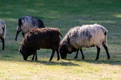 Zwart-witte, en bruine schapen op een groen weiland stock foto's