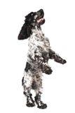 Zwart-witte Engelse cocker-spaniël status royalty-vrije stock afbeeldingen