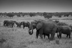 Zwart-witte foto van een kudde van Olifanten Royalty-vrije Stock Afbeeldingen