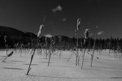 Zwart-witte foto van gebied van de wintermoeras cattails Royalty-vrije Stock Foto