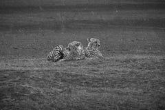 Zwart-witte foto van Jachtluipaarden in de regen Royalty-vrije Stock Foto's