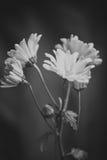 Zwart-witte Foto van Madeliefjes Stock Afbeelding