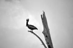 Zwart-witte foto van pelikaan Royalty-vrije Stock Afbeeldingen