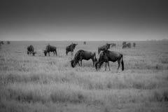 Zwart-witte foto van Wildebeest-migratie Stock Afbeeldingen