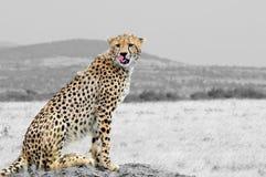 Zwart-witte fotografie met kleurenjachtluipaard Stock Fotografie