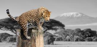 Zwart-witte fotografie met kleurenluipaard Royalty-vrije Stock Afbeeldingen