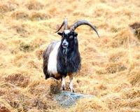 Zwart-witte geit Royalty-vrije Stock Foto's