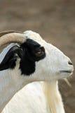 Zwart-witte geit Stock Fotografie