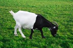 Zwart-witte geit Royalty-vrije Stock Foto
