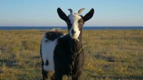 Zwart-witte geit op de weide stock videobeelden