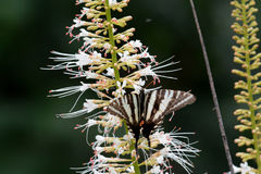 Zwart-witte gestreepte vlinder royalty-vrije stock afbeeldingen