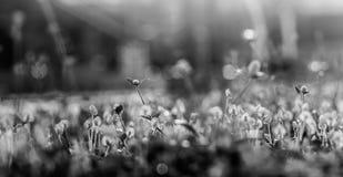 Zwart-witte grasbloem Royalty-vrije Stock Afbeeldingen