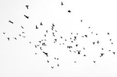 Zwart-witte groep vogels die vliegen Royalty-vrije Stock Fotografie