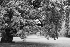 Zwart-witte grote eenzame eiken boom Stock Afbeeldingen