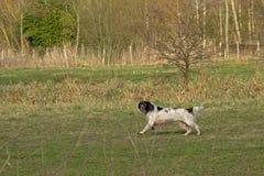 Zwart-witte herdershond, die in een groene weide lopen stock foto's