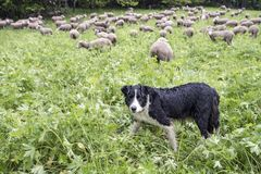 Zwart-witte herdershond in kleine groene grasrijke bosweide met schapen op de achtergrond stock foto's