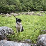 Zwart-witte herdershond in kleine groene grasrijke bosweide met schapen op de achtergrond royalty-vrije stock afbeelding