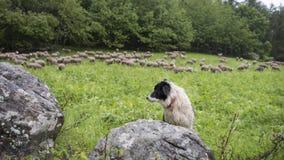 Zwart-witte herdershond in kleine groene grasrijke bosweide met schapen op de achtergrond stock foto