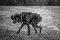 Zwart-witte hoge snelheidsfoto van een hond op het gras shak stock fotografie