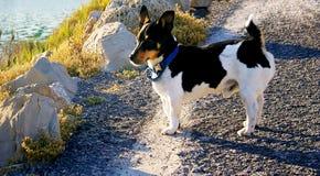 Zwart-witte hond royalty-vrije stock foto