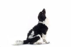 Zwart-witte hond royalty-vrije stock fotografie