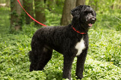 Zwart-witte hond Stock Foto