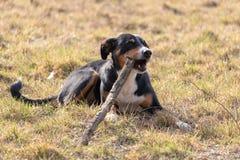 Zwart-witte hond in de lente De Hond van de Appenzellerberg Het reusachtige hond kauwen op een stok stock foto