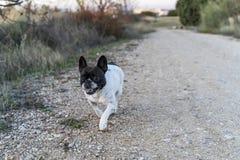 Zwart-witte hond, die door het platteland lopen royalty-vrije stock fotografie