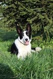 Zwart-witte hond die onder een het uitspreiden zich Kerstboom stelt Royalty-vrije Stock Foto