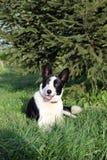 Zwart-witte hond die onder een het uitspreiden zich Kerstboom stelt Royalty-vrije Stock Foto's