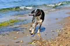 Zwart-witte hond die op het strand stoeien Stock Fotografie