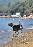 Zwart-witte hond die op het strand stoeien Royalty-vrije Stock Afbeeldingen