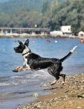 Zwart-witte hond die op het strand stoeien Stock Foto's