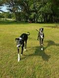 Zwart-witte honden die op gras lopen royalty-vrije stock afbeeldingen