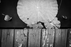 Zwart-witte Houten stoep op pool van Lotus stock fotografie