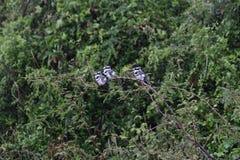 Zwart-witte ijsvogels op een tak Royalty-vrije Stock Fotografie