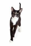 Zwart-witte Jonge Cat Walking Forward royalty-vrije stock foto