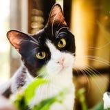 Zwart-witte kat Stock Fotografie