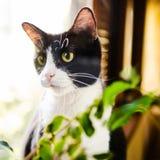 Zwart-witte kat Royalty-vrije Stock Fotografie