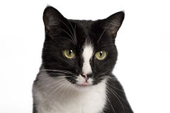 Zwart-witte kat Stock Foto