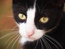 Zwart-witte kat, close-up Stock Afbeeldingen