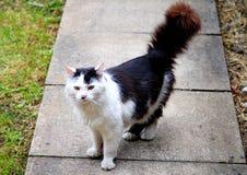 Zwart-witte kat in de tuin Stock Afbeeldingen